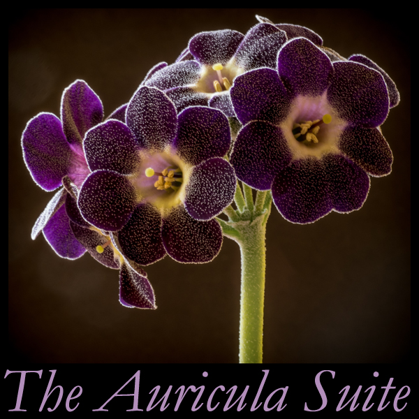 The Auricula Suite Album