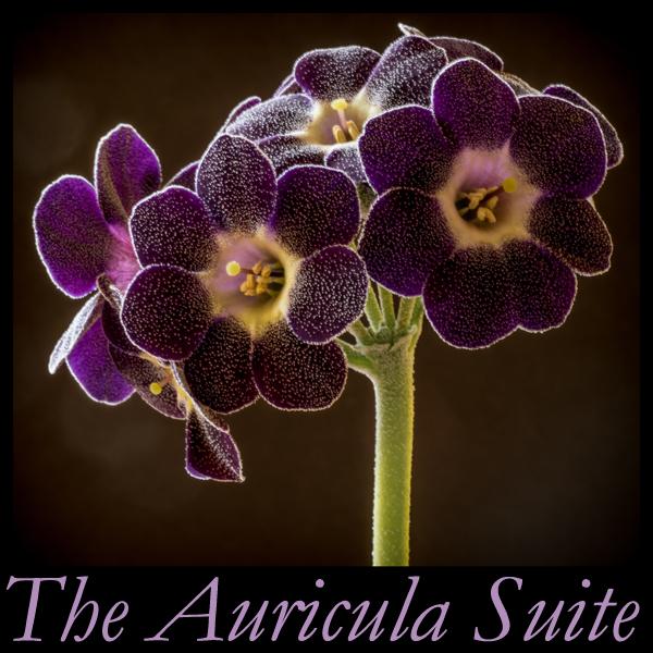 The Auricula Suite Album