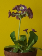 Primula auricula Crimple in the kitchen