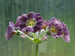 Primula auricula Crimple