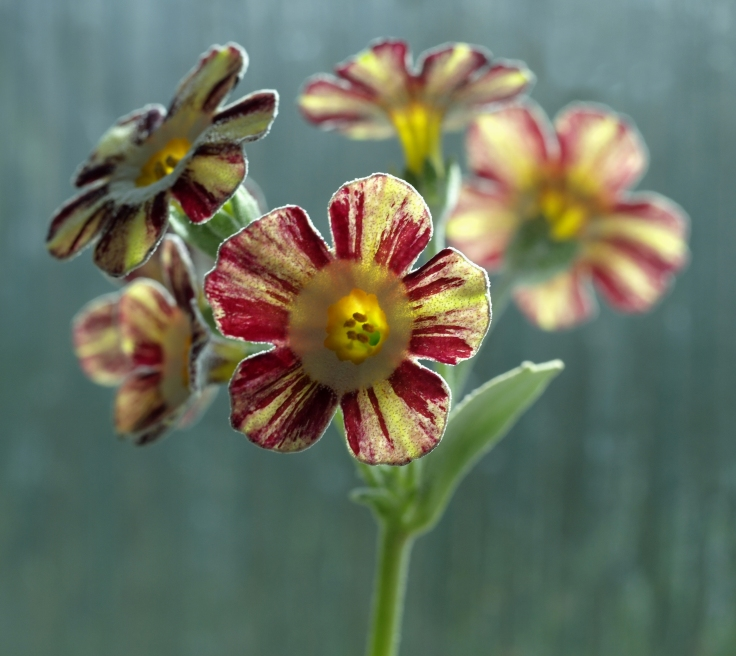 Primula auricula Robin Hood in the sunshine