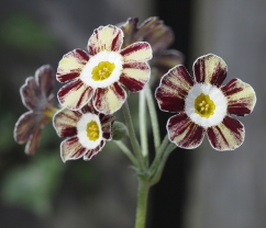 Primula auricula Robin Hood in the shade