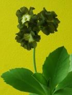 Primula auricula Eden Greenfinch
