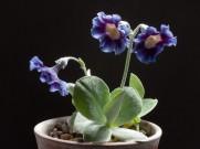 Primula auricula McWatt's Blue