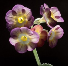 Primula auricula Moon Fairy in the sun