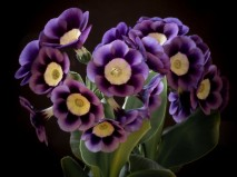 Primula auricula Dilly Dilly