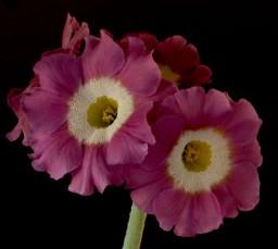 Primula Auricula Pinks andPurples — Rich & Lou's Loudhailer