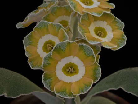 Primula auricula Clouded Yellow