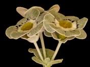 Primula auricula Hettie Wolf