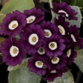 Primula auricula Blackberry Crush