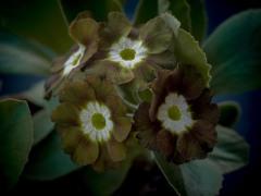 Eden Greenfinch