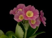 Primula auricula First Light