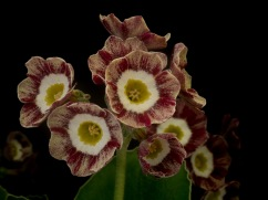 Primula auricula Red Wire