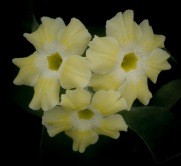 Primula auricula Sherbet Lemon