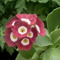 Primula auricula Strawberry Fields