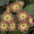 Primula auricula Winifred