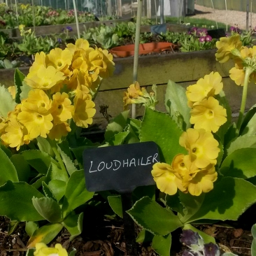 Primula auricula Loudhailer